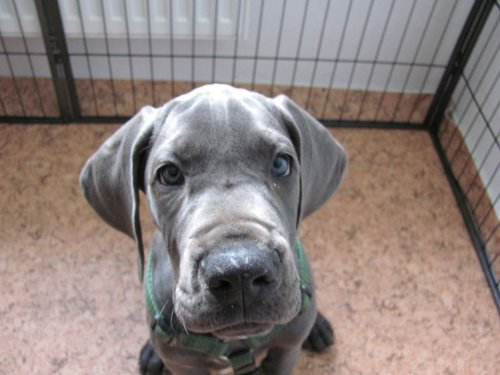 Great Dane puppy Ronja